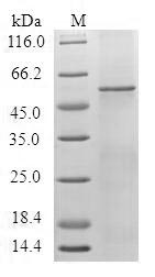 SDS-PAGE- Recombinant protein Human HTR1F