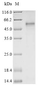 SDS-PAGE- Recombinant protein Human HTR7