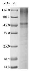 SDS-PAGE- Recombinant protein Human KCNK3
