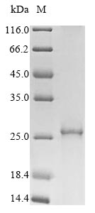 SDS-PAGE- Recombinant protein Human PLP1