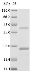 SDS-PAGE- Recombinant protein Rat Pmp22