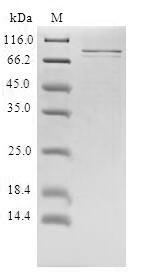 SDS-PAGE- Recombinant protein Human PRLR