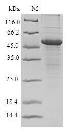 SDS-PAGE- Recombinant protein Human PVR