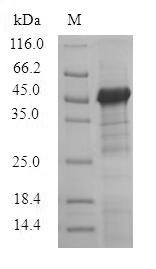SDS-PAGE- Recombinant protein Pig TCN1