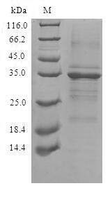 SDS-PAGE- Recombinant protein Human TMEM59