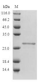 SDS-PAGE- Recombinant protein Human CD80