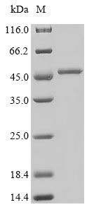 SDS-PAGE- Recombinant protein Staphylococcus SEI