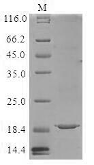 SDS-PAGE- Recombinant protein Lactococcus lspA