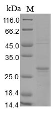 SDS-PAGE- Recombinant protein Yersinia yopE