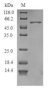 SDS-PAGE - Recombinant Arachis hypogaea Allergen Ara h 1, clone P41B