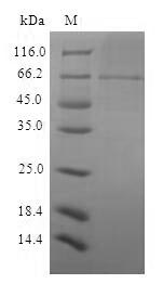 SDS-PAGE - Recombinant Sindbis virus Structural polyprotein