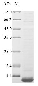 SDS-PAGE- Recombinant protein Bombyx CECD