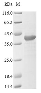 SDS-PAGE- Recombinant protein Mouse Hvcn1