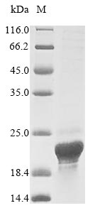 SDS-PAGE- Recombinant protein Human ASPRV1