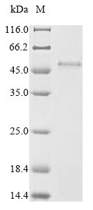 SDS-PAGE- Recombinant protein Human PVRIG