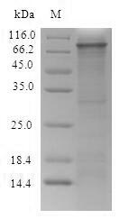 SDS-PAGE- Recombinant protein Rat Itgb4