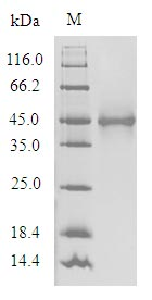 SDS-PAGE- Recombinant protein Human OR1A1