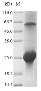 SDS-PAGE - Recombinant Rotavirus A Non-structural glycoprotein 4