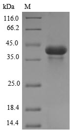 SDS-PAGE- Recombinant protein Meleagris ACR