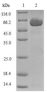 SDS-PAGE- Recombinant protein Human AKR1C3