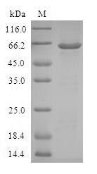 SDS-PAGE- Recombinant protein Human AKR1C4