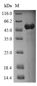 SDS-PAGE- Recombinant protein Human ANXA4