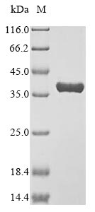 SDS-PAGE- Recombinant protein Mouse Anxa4