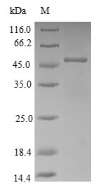 SDS-PAGE- Recombinant protein Rabbit APOE