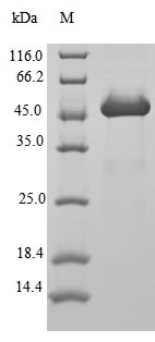 SDS-PAGE- Recombinant protein Human ARF1
