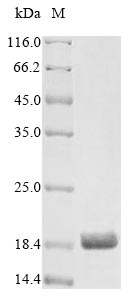 SDS-PAGE- Recombinant protein Rat Artn