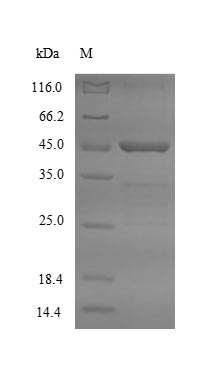 SDS-PAGE- Recombinant protein Mouse Asgr2