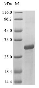 SDS-PAGE- Recombinant protein Human ATF3