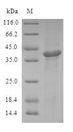 SDS-PAGE- Recombinant protein Human ATF7