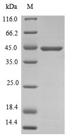SDS-PAGE- Recombinant protein Mouse Atoh1