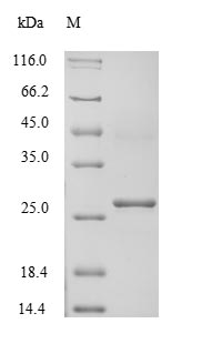 SDS-PAGE- Recombinant protein Human ATP4B