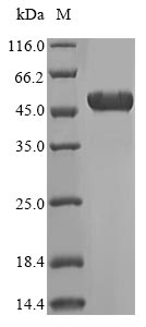 SDS-PAGE- Recombinant protein Human ATP5B