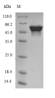 SDS-PAGE- Recombinant protein Mouse ATP5B