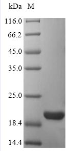 SDS-PAGE- Recombinant protein Human ATP5D