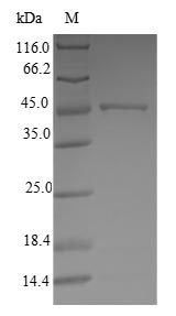 SDS-PAGE- Recombinant protein Human ATP5H