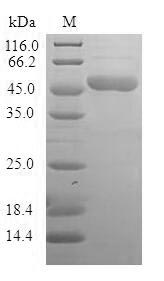 SDS-PAGE- Recombinant protein Human BAG2