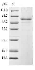 SDS-PAGE- Recombinant protein Human BCAS2