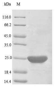 SDS-PAGE- Recombinant protein Human BCL2