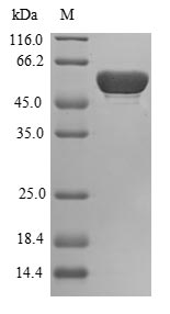 SDS-PAGE- Recombinant protein Human BPGM