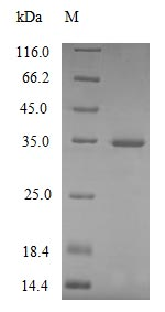 SDS-PAGE- Recombinant protein Mouse C1qa