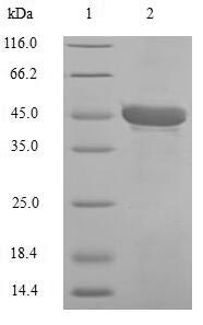 SDS-PAGE- Recombinant protein Human CA1