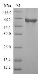 SDS-PAGE- Recombinant protein Human CA8