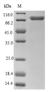 SDS-PAGE- Recombinant protein Human CALR