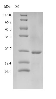 SDS-PAGE- Recombinant protein Human CAMP
