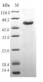 SDS-PAGE- Recombinant protein Human CAPZB