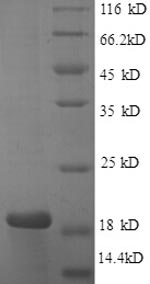 SDS-PAGE- Recombinant protein Human CASP3